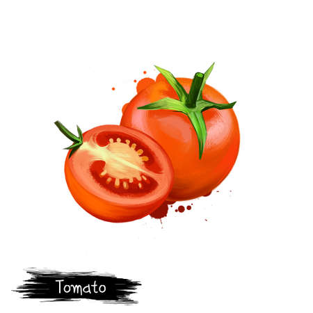 Digital illustration of Tomato or Solanum lycopersicum isolated on white background. Organic healthy food. Red vegetable. Hand drawn plant closeup. Clip art illustration graphic design element