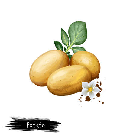 Digital art illustration of Potatoes or Solanum tuberosum isolated on white background. Organic healthy food. Brown vegetable. Hand drawn plant closeup. Clip art illustration. Graphic design element
