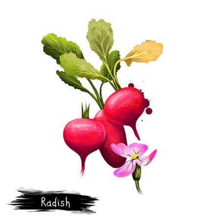Digital art illustration of Radish or Raphanus raphanistrum isolated on white background. Organic healthy food. Red vegetable. Hand drawn plant closeup. Clip art illustration. Graphic design element Stock Photo