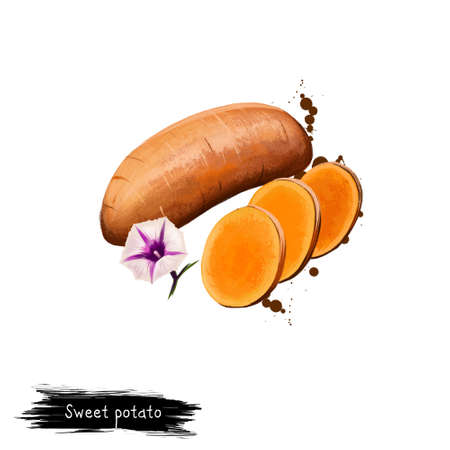 Digital art illustration of Sweet potato or Ipomoea batatas isolated on white background. Organic healthy food. Brown vegetable. Hand drawn plant closeup. Clip art illustration. Graphic design element