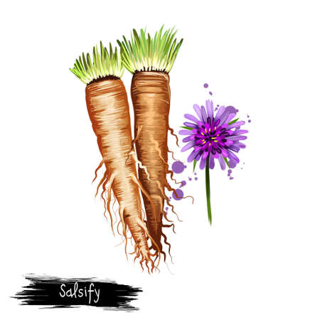 Digital illustration of Salsify, Tragopogon isolated on white background. Organic healthy food. Flowering Brown root vegetable. Hand drawn plant closeup. Clip art illustration. Graphic design element