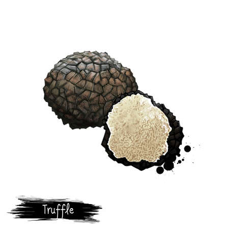 Digital art illustration of Truffle mushroom, Tuber aestivum isolated on white background. Organic healthy food. Fruiting body. Hand drawn plant closeup. Clip art illustration. Graphic design element