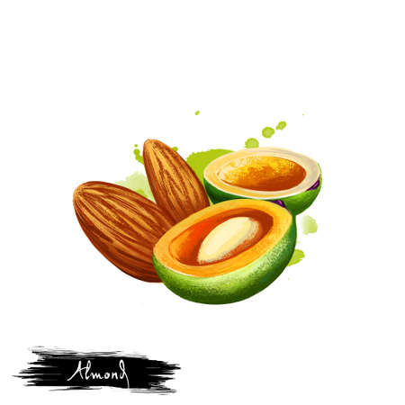Hand drawn illustration of Almond nut or Prunus dulcis isolated on white background. Organic healthy food. Digital art with paint splashes drops effect. Graphic clip art for design, web and print. Stock Photo
