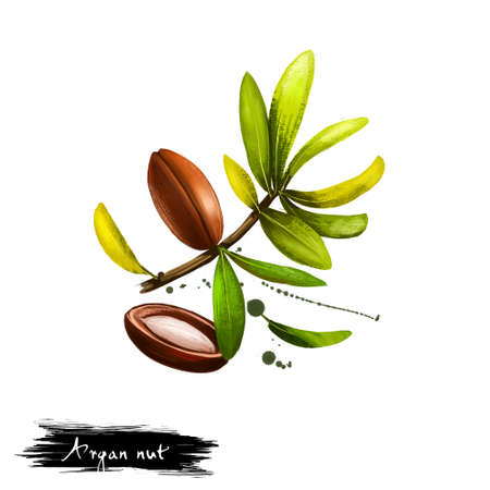 Hand drawn illustration of Argan nut or Argania spinosa isolated on white background. Organic healthy food. Digital art with paint splashes drops effect. Graphic clip art for design, web and print. Stock Photo