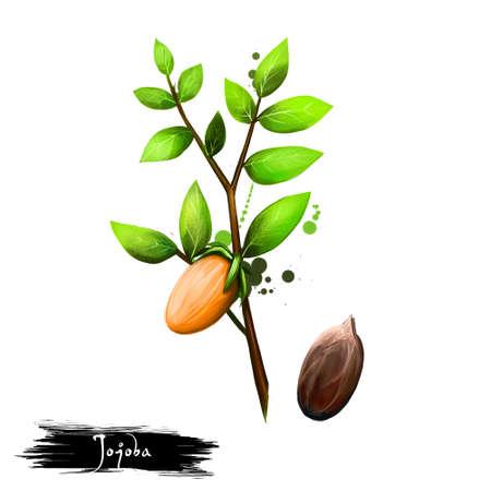 호호바 또는 Simmondsia chinensis 흰색 배경에 고립의 손으로 그린 그림. 유기농 건강 식품. 디지털 아트 페인트 밝아진 삭제 효과. 디자인, 웹 및 인쇄용 그