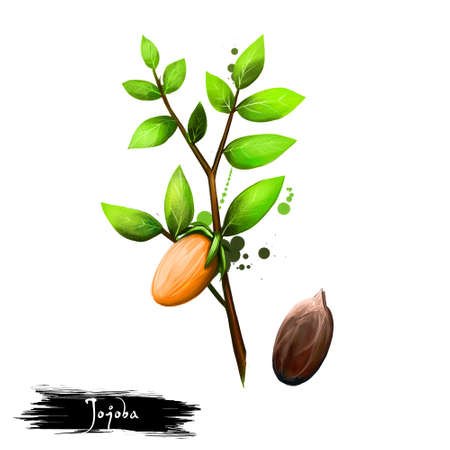 Hand drawn illustration of Jojoba or Simmondsia chinensis isolated on white background. Organic healthy food. Digital art with paint splashes drops effect. Graphic clip art for design, web and print.