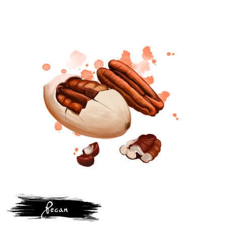 Hand drawn illustration of Pecan nut or Carya illinoinensis isolated on white background. Organic healthy food. Digital art with paint splashes drops effect. Graphic clip art for design, web, print.