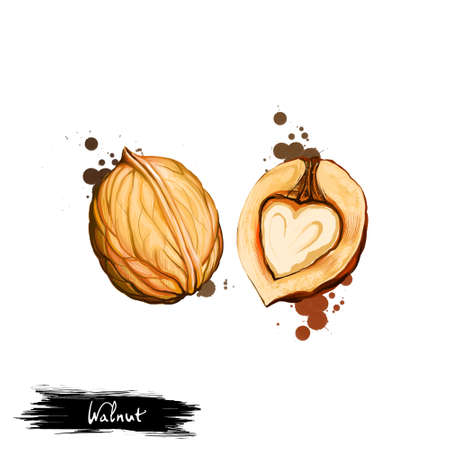 Hand drawn illustration of Walnut or Juglans regia isolated on white background. Organic healthy food. Digital art with paint splashes drops effect. Graphic clip art for design, web and print.