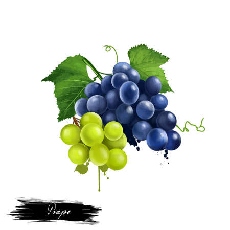 Grape fruiting berries isolated on white background. deciduous woody vines of the botanical genus Vitis. Tasty fresh table grapes fruit colorful drawing with paint splashes and drips. Digital art Stock Photo