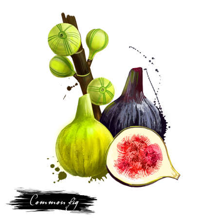 Common fig fruit isolated on white background. Asian specie of flowering plants in the mulberry family. Fig maturation step crop. Ficus carica, moraceae family tasty . Digital art design illustration Stock Photo