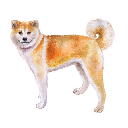 赤の日本の秋田犬が白い背景で隔離の水彩のクローズ アップの肖像画。おかしい犬の笑顔します。手描きの甘いホーム ペット。人気のある大型犬で