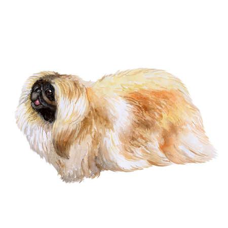 origen animal: Primer plano de acuarela de perro pekingse chino aislado sobre fondo blanco. perro de juguete esponjoso que muestra la lengua. Animal doméstico casero dulce dibujado mano. Perro de raza pequeña popular. Diseño de la tarjeta de felicitación. Clipart