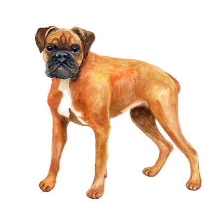 독일 권투 선수, 흰색 배경에 격리 된 도우 셔 복서 품종 강아지의 수채화 근접 촬영 초상화. 중간 크기, 짧은 머리 품종 개입니다. 손으로 그린 달콤한  스톡 콘텐츠