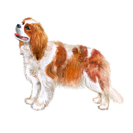 Cavalier 킹 찰스 발 바리 품종 개가 수채화 근접 촬영 초상화 흰색 배경에 고립. 영국 장난감 개입니다. 손으로 그린 달콤한 집 애완 동물. 인사말 카