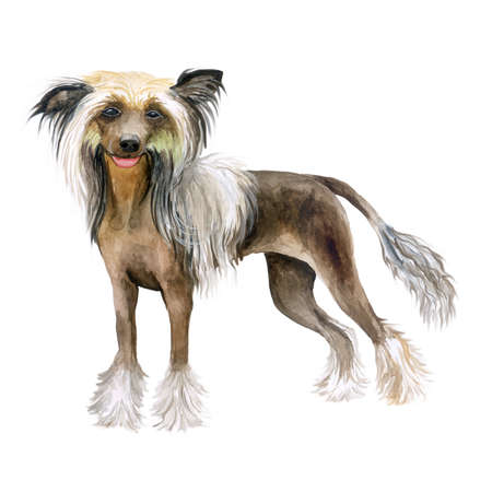 Watercolor closeup portrait of cute Chinese crested breed dog isolated on white background. No fur hairless dark skin dog showing tongue. Hand drawn sweet home pet. Greeting card design. Clip art Banco de Imagens