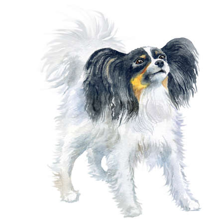 Watercolor close up portrait of Continental Toy Spaniel breed dog isolated on white background. Butterfly-eared black and white Papillon dog. Hand drawn sweet home pet. Greeting card design. Clip art