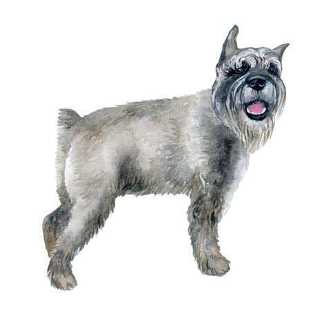 귀여운 회색 색상 표준 허 접 강아지의 수채화 근접 촬영 초상화 흰색 배경에 고립. 독일 콧수염 테리어 유형 강아지입니다. 손으로 그린 달콤한 집 애