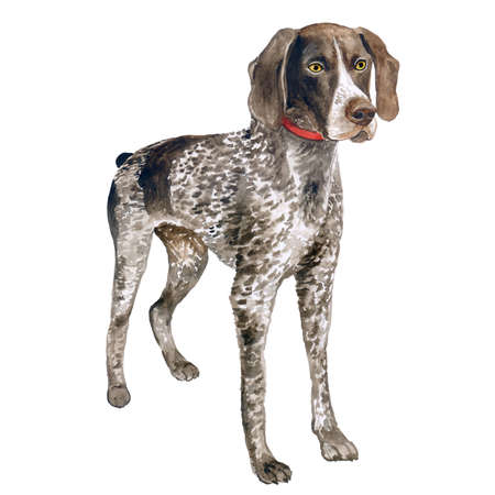 Watercolor close up portrait of cute German Shorthaired Pointer breed dog isolated on white background. Medium to large size hunting dog. Hand drawn sweet home pet. Greeting card design. Clip art Reklamní fotografie
