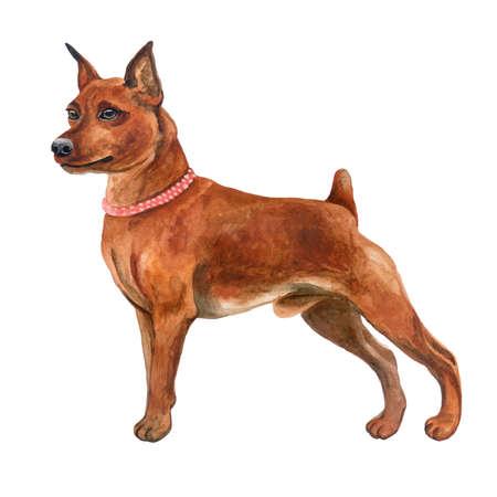 흰색 배경에 고립 된 귀여운 빨간 미니어처 핀셔 강아지의 수채화 근접 촬영 초상화. 쇼트 헤어 작은 핀셔와 귀를 자른. 손으로 그린 달콤한 집 애 스톡 콘텐츠