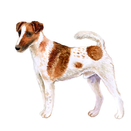 Watercolor closeup portrait of cute Fox Terrier Smooth breed dog isolated on white background. Shorthair small hunting dog posing at dog show. Hand drawn sweet home pet. Greeting card design. Clip art
