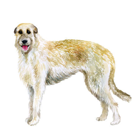Watercolor closeup portrait of Irish Wolfhound breed dog isolated on white background. Large sighthound hunting dog posing at dog show. Hand drawn sweet home pet. Greeting card design. Clip art