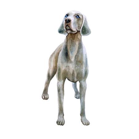 귀여운 Weimaraner 품종 개가 흰 배경에 고립의 수채화 근접 촬영 초상화. 쇼트 헤어 부드러운 큰 사냥개 강아지 쇼 포즈. 손으로 그린 달콤한 집 애완