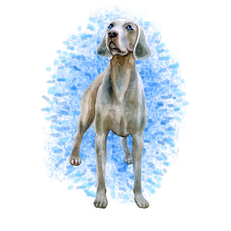 Watercolor closeup portrait of cute Weimaraner breed dog isolated on blue background. Shorthair smooth large hunting dog posing at dog show. Hand drawn sweet home pet. Greeting card design. Clip art
