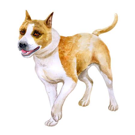 Staffordshire アメリカのテリア犬は、白い背景で隔離の水彩のクローズ アップの肖像画。ショートヘア滑らかな犬はドッグショーでポーズします。手