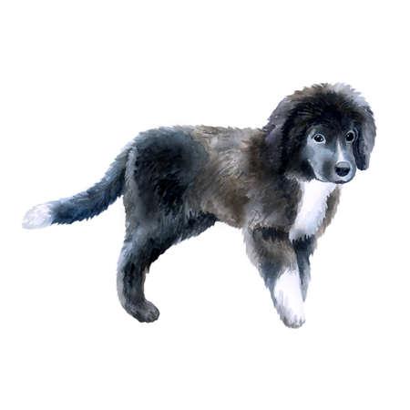 Aquarelle closeup portrait de mignon Chiot de race Terre-Neuve isolé sur fond blanc. Longhair grand chien de travail posant à l'exposition de chien. Mignon à la main tiré à la maison. Clip art de carte de voeux Banque d'images - 86031715