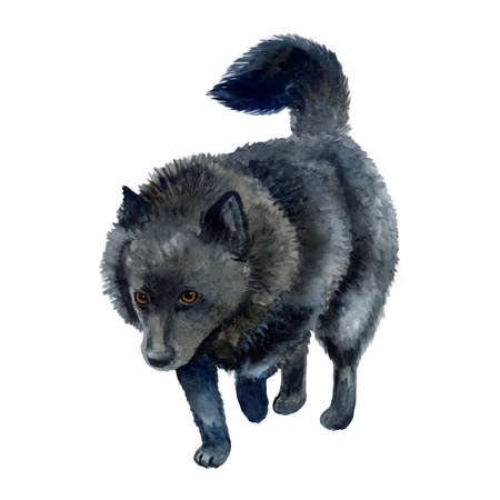 Watercolor closeup portrait of Belgian Schipperke breed dog isolated on white background. Longhair medium miniature sheepdog posing at dog show. Hand drawn home pet. Greeting card design. Clip art Banco de Imagens