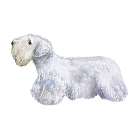 Watercolor closeup portrait of rare Welsh Sealyham Terrier breed dog isolated on white background. Longhair medium working dog posing at dog show. Hand drawn home pet. Greeting card design. Clip art
