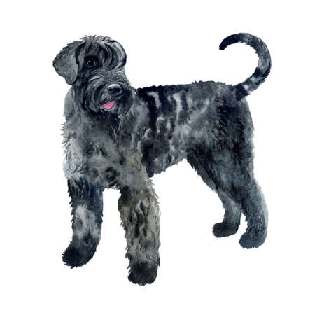 Watercolor closeup portrait of Giant Schnauzer breed dog isolated on white background. German large longhair working guardian dog. Hand drawn sweet home pet. Greeting birthday card design. Clip art