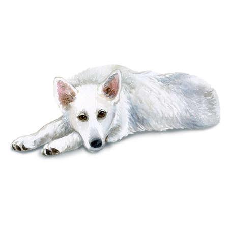大型のホワイト シェパード犬は白い背景で隔離の水彩のクローズ アップの肖像画。大規模な長髪ヘリング犬が床に横たわっています。手描きの甘い