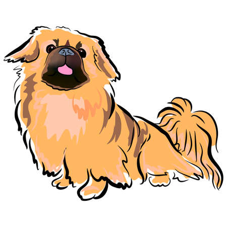 vector closeup portrait of chinese pekingese dog isolated on white background. fluffy toy dog showing tongue. Hand drawn sweet home pet. Popular small breed dog. Greeting card design. Clip art
