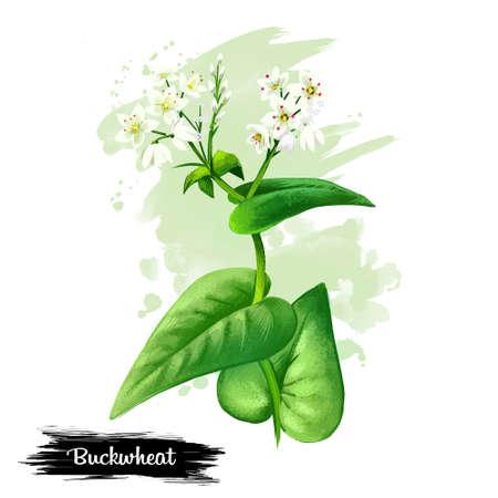 꽃과 녹색 잎 흰색 배경에 고립 된 메 밀 공장 디지털 아트 그림. 농업 개화 허브 꽃, 유기농 시리얼 작물의 근접 촬영의 현실적인 디자인