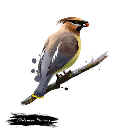 Bohemian Waxwing digital art illustration isolated on white. Starling-sized passerine bird mainly buff-grey plumage, black face markings and pointed crest sitting on branch with berry in beak Banco de Imagens - 87701027