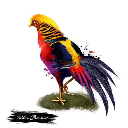 Golden Pheasant digital art illustration isolated on white. Chinese pheasant Chrysolophus pictus gamebird of order Galliformes gallinaceous birds with golden crest and rump and bright red body Stock Photo