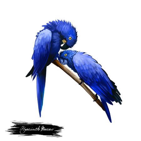 Hyacinth Macaw digital art illustration isolated on white background. Two birds sitting on branch, hyacinthine parrots with entirely blue feathers, pair of ara lovers tropical forest perches