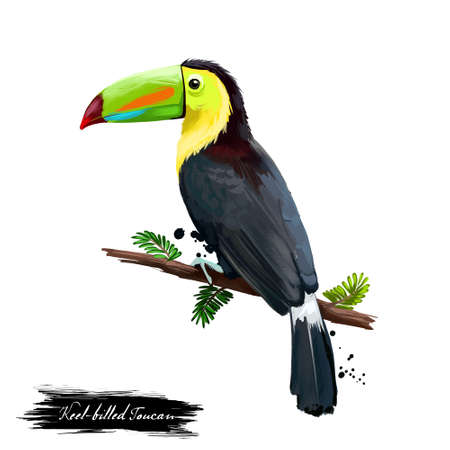 Keel-billed Toucan digital art illustration isolated on white. Sulfur-breastedor rainbow-billed toucan sitting on branch, national bird of Belize. Plumage mainly black with yellow neck and chest Zdjęcie Seryjne