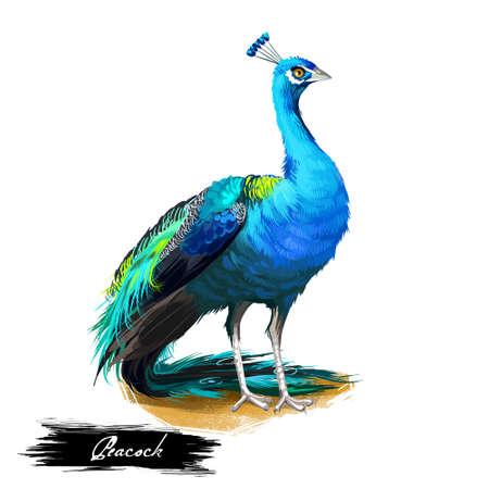 Illustratie van de pauw de digitale kunst die op wit wordt geïsoleerd. Pauwfazanten met extravagant verenkleed, vrouwelijke pauwin, onvolgroeide nakomelingen perzik. Dieren in het wild met luxe staart in groene en blauwe kleuren