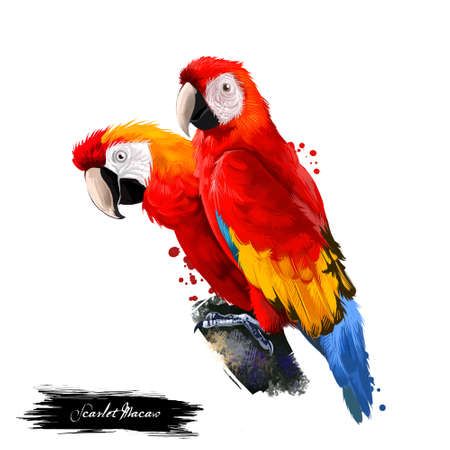 Scarlet Macaw digital art illustration isolated on white. Large red, yellow, and blue South American parrot member group of Neotropical parrots called macaws. Pair of parrots sitting on branch 스톡 콘텐츠