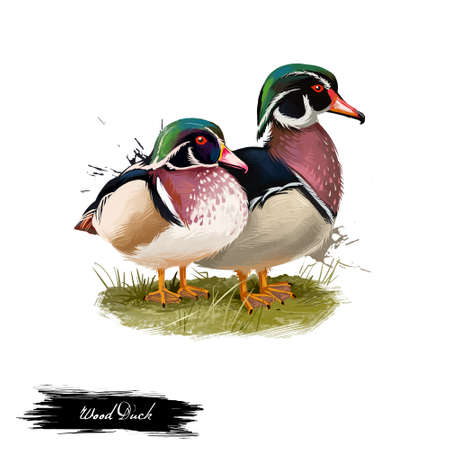 Wood Duck digital art illustration isolated on white. Carolina duck Aix sponsa species of perching found in North America. One of most color North American waterfowl. Pair of birds sitting on branch