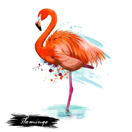 Flamingo type of wading bird digital art illustration isolated on white standing in water on one leg. Pink flamingoes animal with brash splashes and text, exotic lovely feathered wildlife symbol