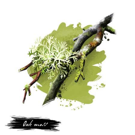 オークモス、白い背景で隔離 Evernia prunastri のデジタル アート イラスト。オリーブ グリーン癬、複合生物が樫の木の枝の成長の種。手描きグラフィ