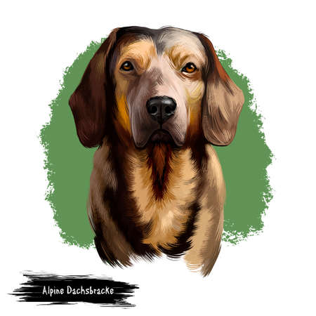 Alpine Dachsbracke dog digital art illustration isolated on white background. Small breed of dog of the scent hound type originating in Austria. Bred to track animals. Slight resemblance to Dachshund Фото со стока