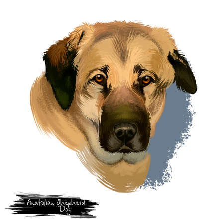 Anatolian Shepherd Dog digital art illustration isolated on white background. Anatolian Shepherd dog muscular breed with thick neck, broad head, and sturdy body, white cream color dog portrait
