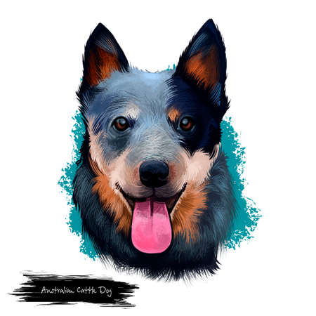 Australian Cattle Dog digital art illustration isolated on white. Cattle Dog breed of herding dog originally developed in Australia for driving cattle over long distances. Portrait head with text Zdjęcie Seryjne - 97250336