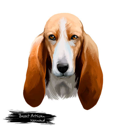 Basset Artésien Normand or Norman Artesian Basset short-legged hound type French dog digital art illustration isolated on white background. Cute pet hand drawn portrait. Graphic clip art design