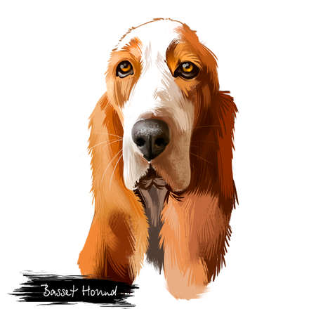 Basset Hound or Hush Puppy short-legged breed scent hound family dog digital art illustration isolated on white background. British, french origin dog. Cute pet hand drawn portrait. Graphic clip art Banco de Imagens