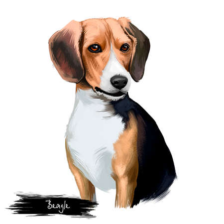 Beagle small scent hound breed dog digital art illustration isolated on white background. English origin, tricolor, hunting hare, detection dog. Cute pet hand drawn portrait. Graphic clip art design Banque d'images - 97953418